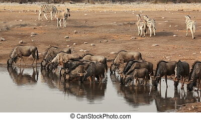 Etosha waterhole - Blue wildebeest and plains zebras...