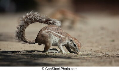 Feeding ground squirrel - Ground squirrel (Xerus inaurus)...