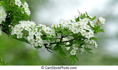 Beautiful hawthorn bush flowers