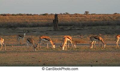 Grazing springbok - Springbok antelopes (Antidorcas...