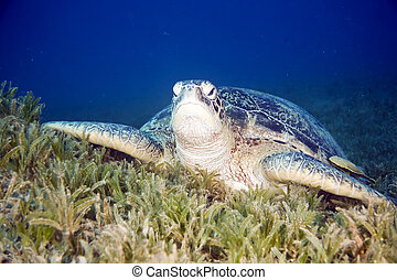 female green turtle - female green turtle (chelonia mydas)