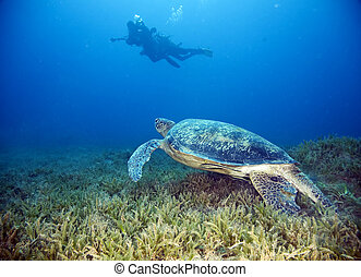 male green turtle and divers - male green turtle chelonia...
