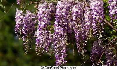 Wisteria sinensis flowers