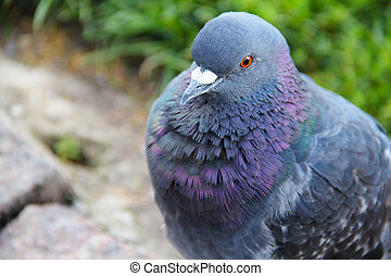 Pigeon portait - Portrait of beautiful gray pigeon close up