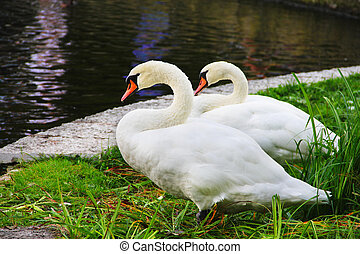 White swans - Two white swans standing on beautiful shore of...