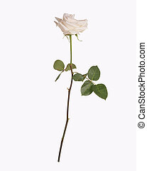 Single white rose isolated - Single white rose with stem and...