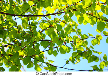 Birch spring foliage - Birch fresh green spring foliage...