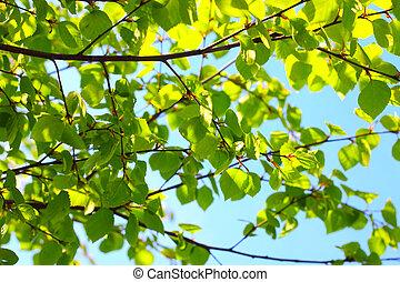 Birch spring foliage - Birch fresh green spring foliage...