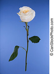 Single white rose on blue background