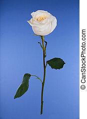 Single white rose on blue background