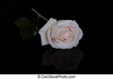 Single white rose on black background