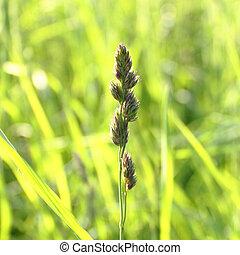 spike grass