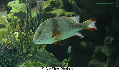 Lutjanus sebae - tropical fish underwater