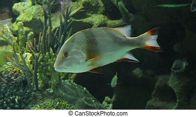 Lutjanus sebae - tropical fish underwater