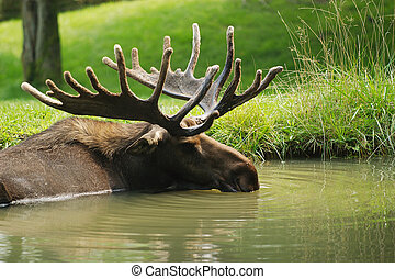 Moose resting in pond - Moose taking a break in a pond
