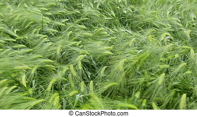 Wind that shakes the barley - A field of green barley shaken...