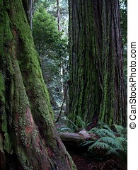 Mossy Redwood tree trunks - Close up of redwood trees, path...