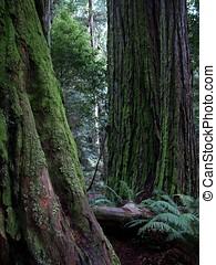 musgoso, secoya, árbol, troncos