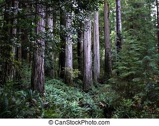 estante, secoya, árboles
