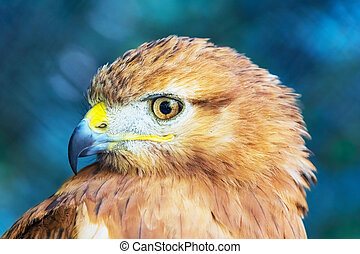 Red-tailed Hawk - Close portraint of Red-tailed Hawk Buteo...