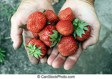 hands of the old man with fresh berries red strawberry...