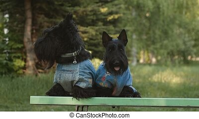 two Scottish Terrier in denim suits on the bench in the park