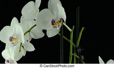 White orchid - Closeup of white orchid plant rotating on...