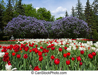 Tulips and lilacs in the spring garden
