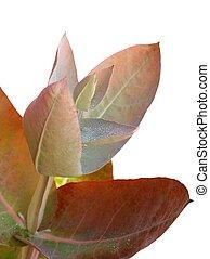 eucalyptus, -, zilver, druppel