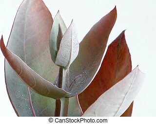 Eucalyptus - Silver Drop