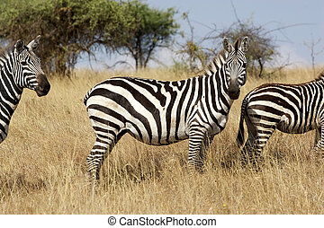 Zebra Equus burchellii - Zebra Equus Burchellii Animal in...