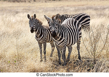 Zebras (Equus burchellii) in the savanna - Zebras (Equus...