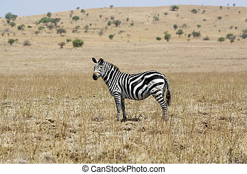 Zebra Equus burchellii - Zebra Equus Burchellii in the...