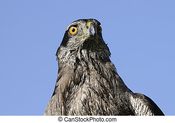 Goshawk closeup in a blue sky