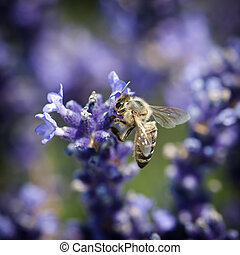 Bee and lavandula flower - Diligent bee pollinate a flower...