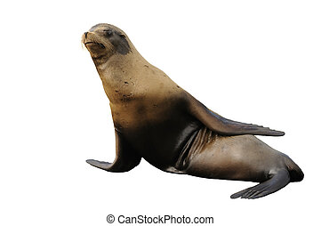 stellar seal - Stellar seal, isolated on a white background