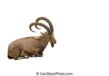 Scimitar horned Ibex isolated on white background
