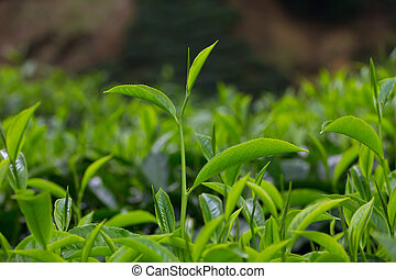 Fresh young tea leafs on plantation