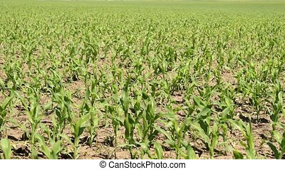 corn field - young corn field in spring time