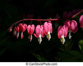 Bleeding Heart Flowers - Row of pink bleeding heart flowers...