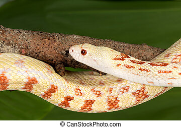 Adult snake - Adult female bullsnake curled around a tree...
