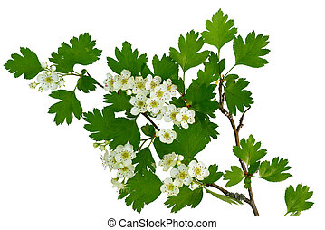 flower of a hawthorne tree - May blossom, the flower of a...