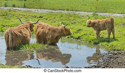 Scottish highlander cows and calf