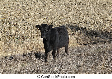 Young Limousin Steer - Young black limousin steer