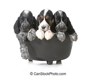 litter of puppies - three english cocker spaniel puppies in...