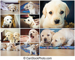 Golden retriever puppy of 7 weeks old Set, Collage