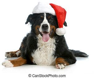 santa dog - bernese mountain dog wearing santa hat on white...