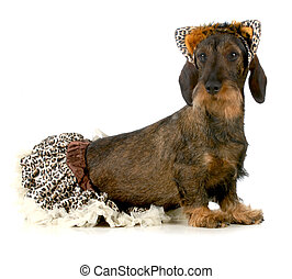 dog wearing cat costume - wirehaired dachshund isolated on...