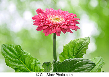 Gerbera on green background
