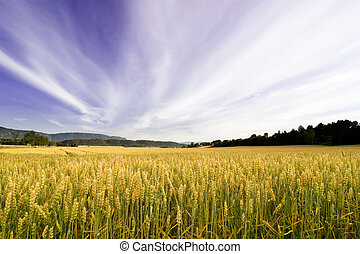 Wheat Field - A wheat field in a dramatic landscape